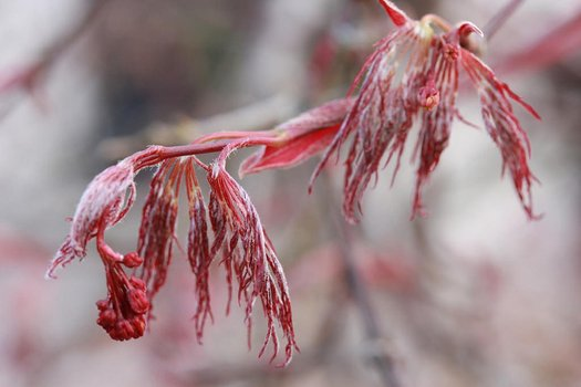 Acer Palmatum Red Feathers Red Feathers Japanese Maple Plant Lust