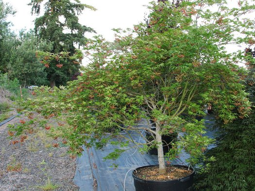 Acer Palmatum Tiger Rose Tiger Rose Japanese Maple Plant Lust