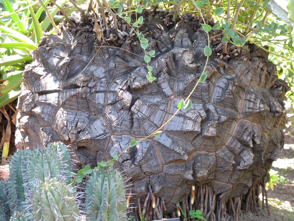 Schildkrötenpflanze