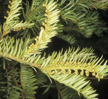 Cephalotaxus Sinensis Chinese Plum Yew Plant Lust