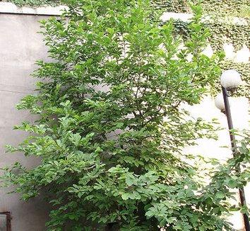 Magnolia Liliiflora Magnolia Quiquepeta Magnolia