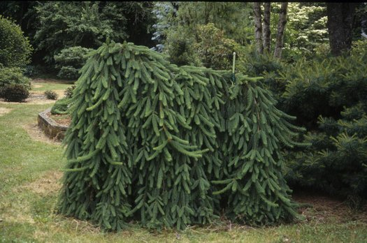 Picea Abies Pendula Norway Spruce Weeping Norway Spruce Plant