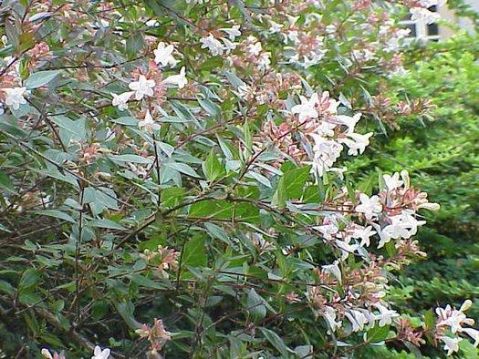 Abelia Floribunda Mexican Abelia Plant Lust
