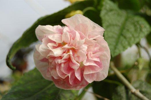 Abutilon Victorian Lady Victorian Lady Bell Flower Victorian