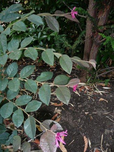 Loropetalum chinense var rubrum sizzling pink loropetalum view full size mightylinksfo