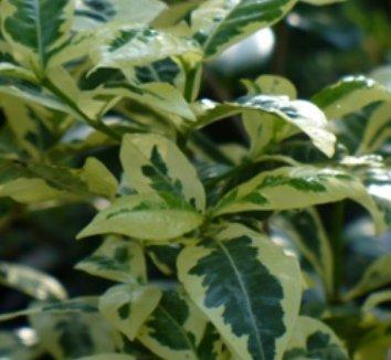 Gardenia jasminoides 'Variegata' | Gardenia augusta ...Gardenia Jasminoides Variegata