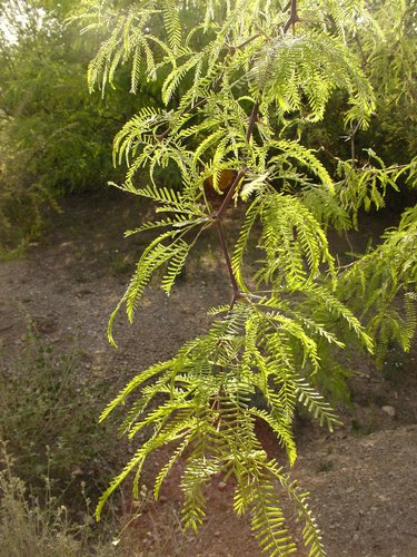 Prosopis Chilensis Thornless Chilean Mesquite Plant Lust