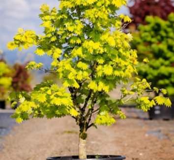 acer shirasawanum 39 aureum 39 golden full moon maple japanese golden full moon maple plant lust. Black Bedroom Furniture Sets. Home Design Ideas