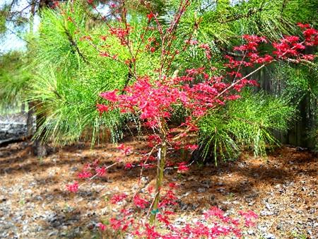 Photo 40269 Acer Palmatum Seigai Plant Lust