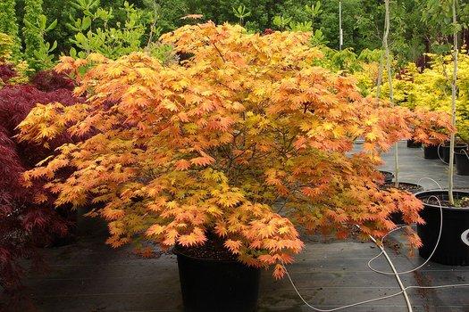 Acer Shirasawanum Autumn Moon Autumn Moon Maple Plant Lust