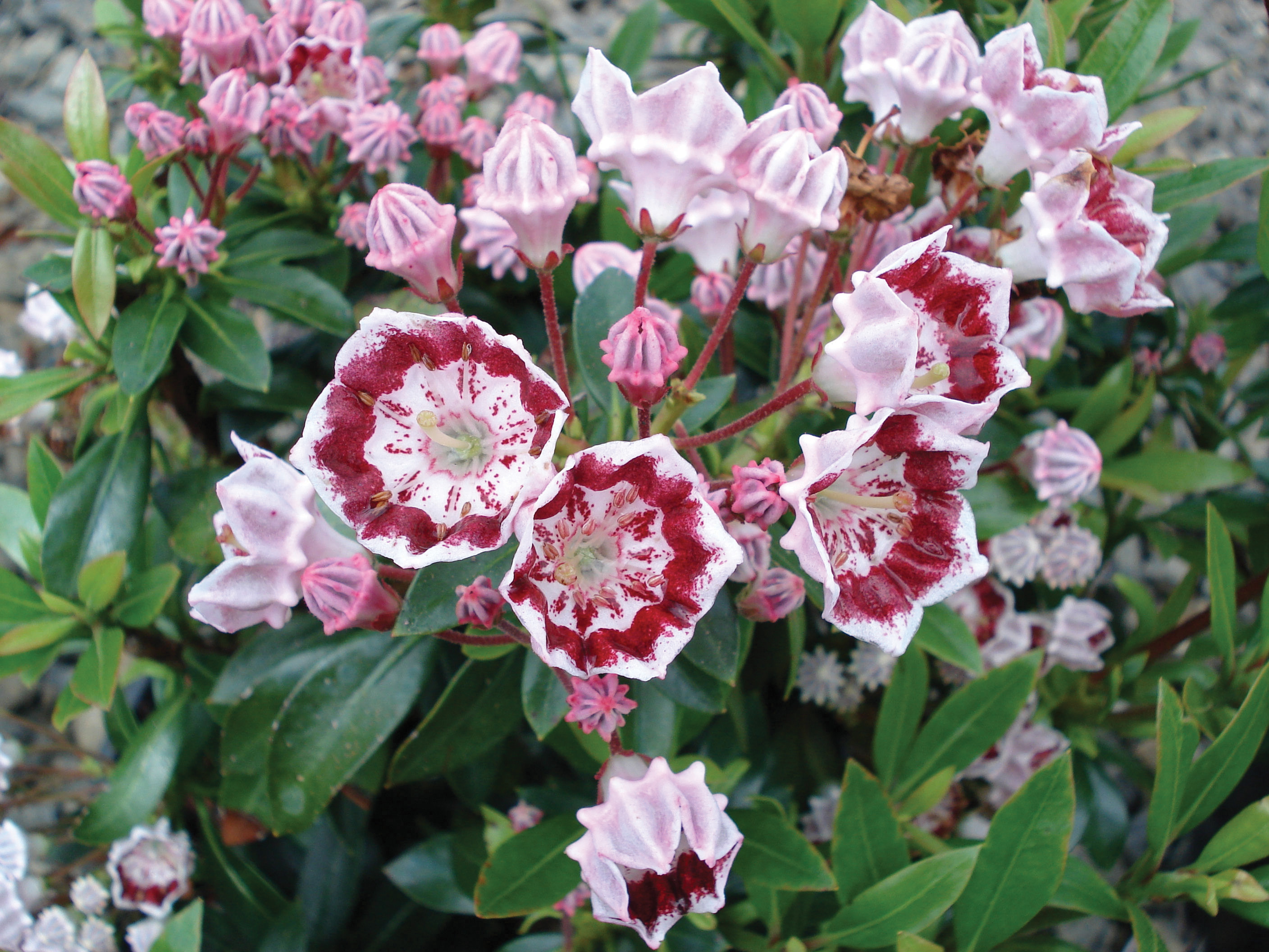Photo 8956 Kalmia Latifolia Minuet Plant Lust