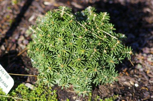 Abies Koreana Cis Cis Korean Fir Plant Lust