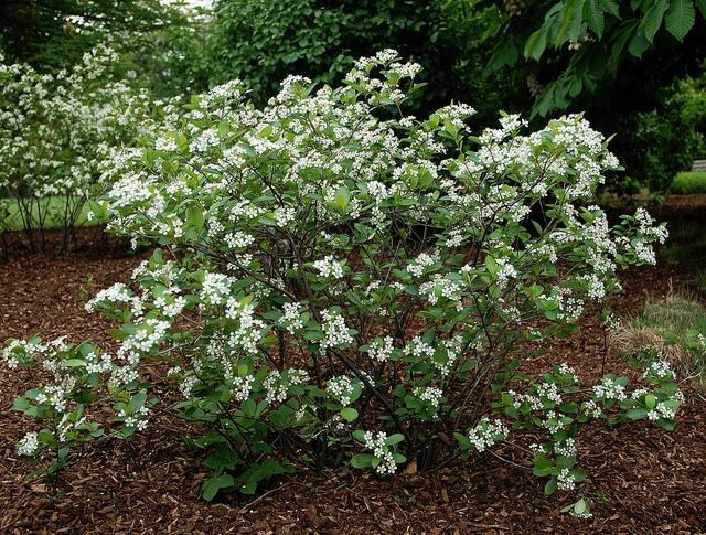 photo 25762 aronia melanocarpa 39 morton 39 plant lust. Black Bedroom Furniture Sets. Home Design Ideas