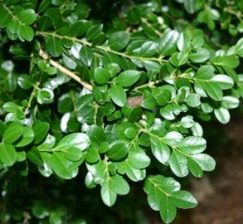 Opinion you Buxus microphylla var japonica morris midget can not