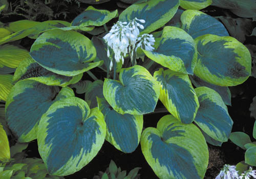 Photo 33036 hosta 39 olive bailey langdon 39 plant lust - Olive garden bailey s crossroads ...