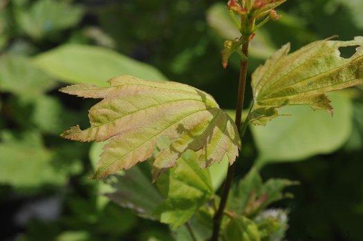 Acer Circinatum Burgundy Jewel Burgundy Jewel Vine Maple Plant Lust