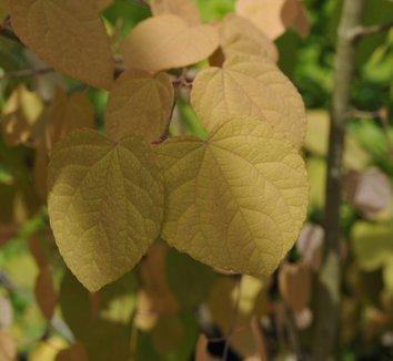 Cercidiphyllum Japonicum Var Magnificum Cercidiphyllum