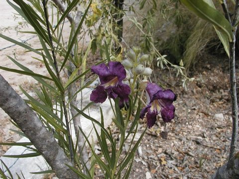 Chilopsis Linearis Burgundy Burgundy Desert Willow