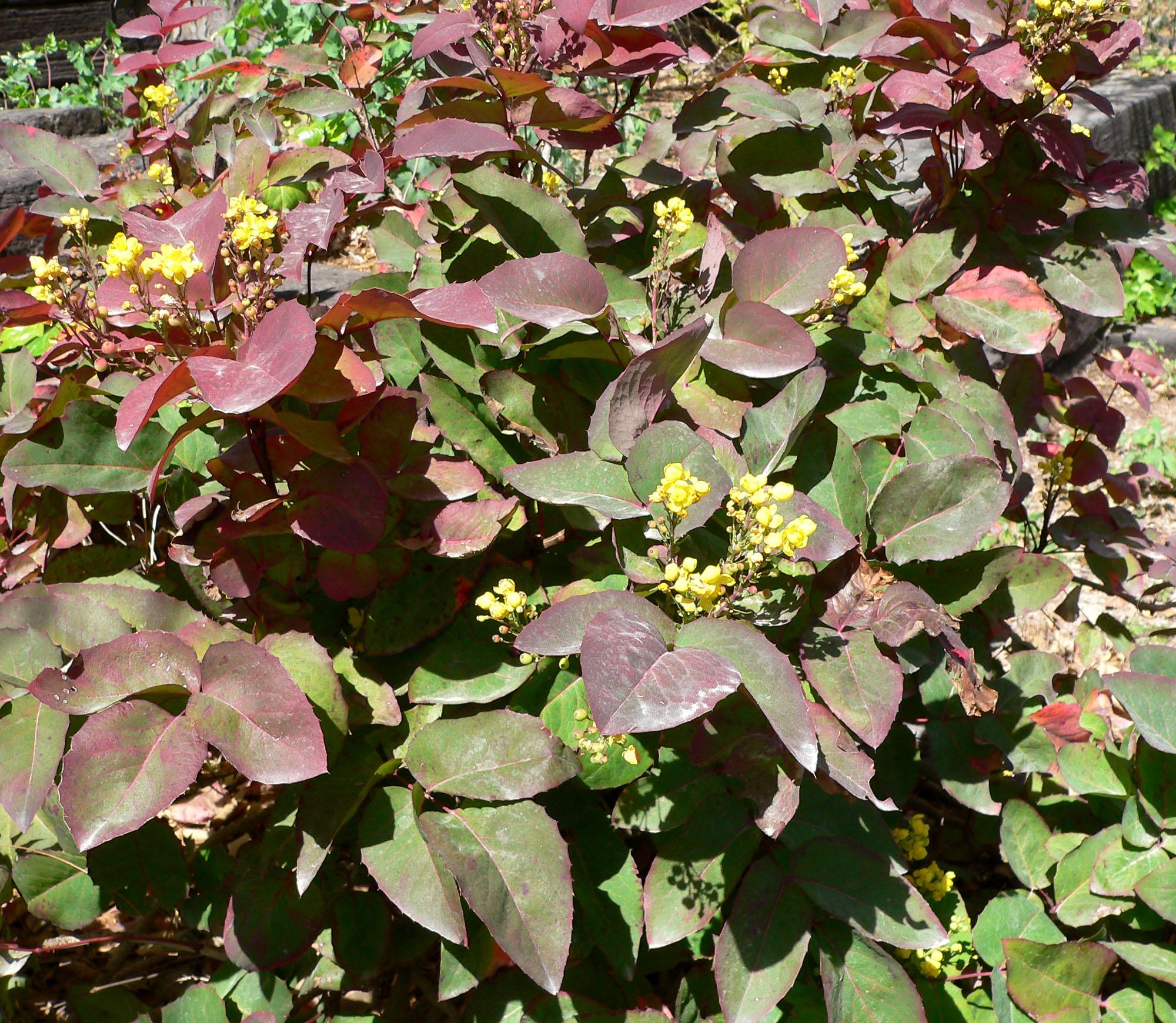 Picture of Live Compact Oregon Grape aka Mahonia a. 'Compacta' Shrubs Plant Fit 5 Gallon Pot