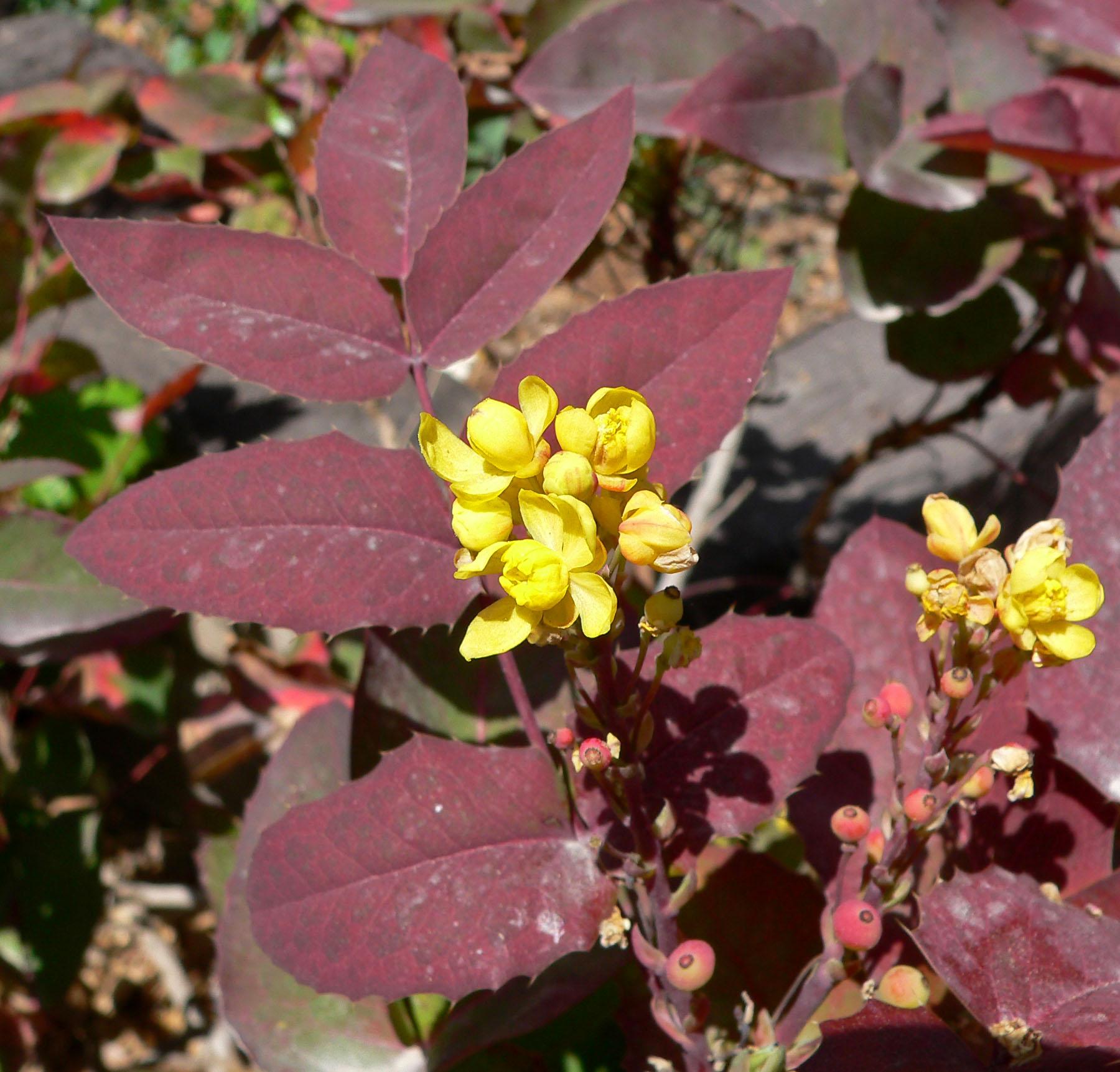 Photo 19042 Mahonia Aquifolium Compacta Plant Lust