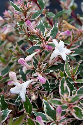 Abelia X Grandiflora Confetti Pp8472 Abelia X Grandiflora Conti