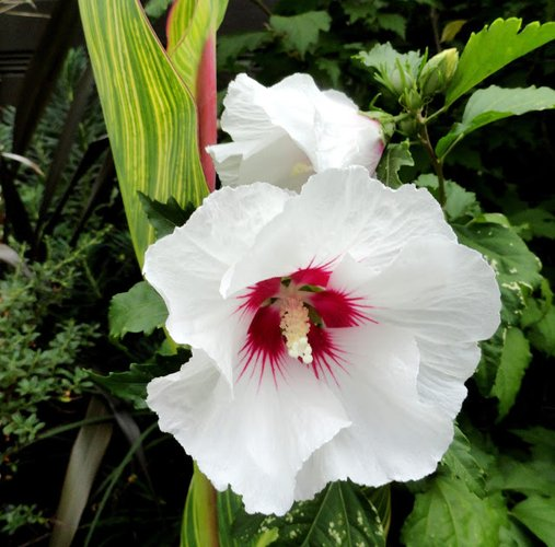 Hibiscus Syriacus Red Heart Red Heart Rose Of Sharon Plant Lust