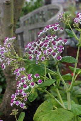 Pericallis Plant Lust