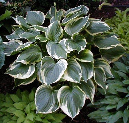 Hosta Ventricosa Aureomarginata Plant Lust
