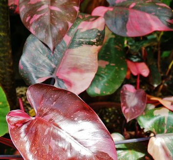 philodendron erubescens 39 pink princess 39 pink princess philodendron plant lust. Black Bedroom Furniture Sets. Home Design Ideas