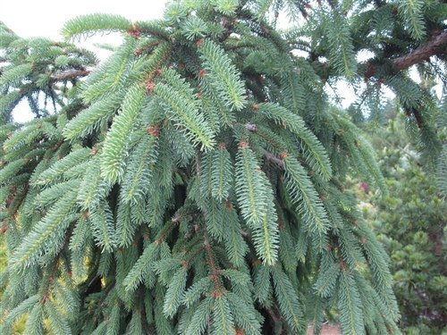 Picea Abies Glauca Pendula Picea Abies Blue Ox Blue Weeping