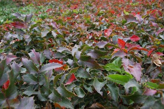 Mahonia Aquifolium Compacta Berberis Aquifolium Compacta