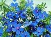 Anagallis monellii 'Gentian Blue'