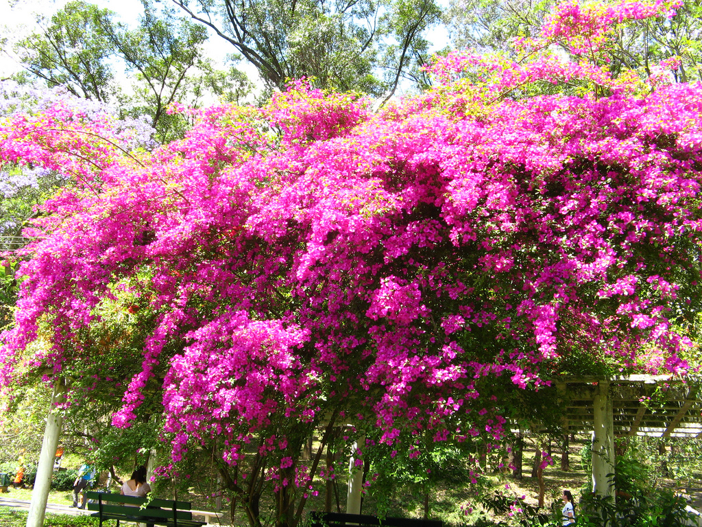 Photo 4570 bougainvillea glabra plant lust - Piante decorative da giardino ...