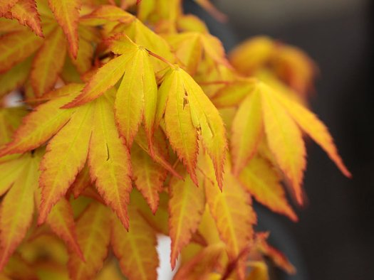 Acer Palmatum Summer Gold Summer Gold Japanese Maple Plant Lust