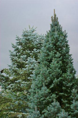 Picea Pungens Fastigiata Fastigiata Narrow Colorado Blue Spruce