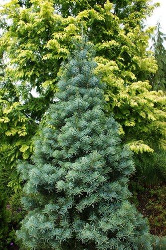 Abies Concolor Compacta Compacta White Fir Plant Lust