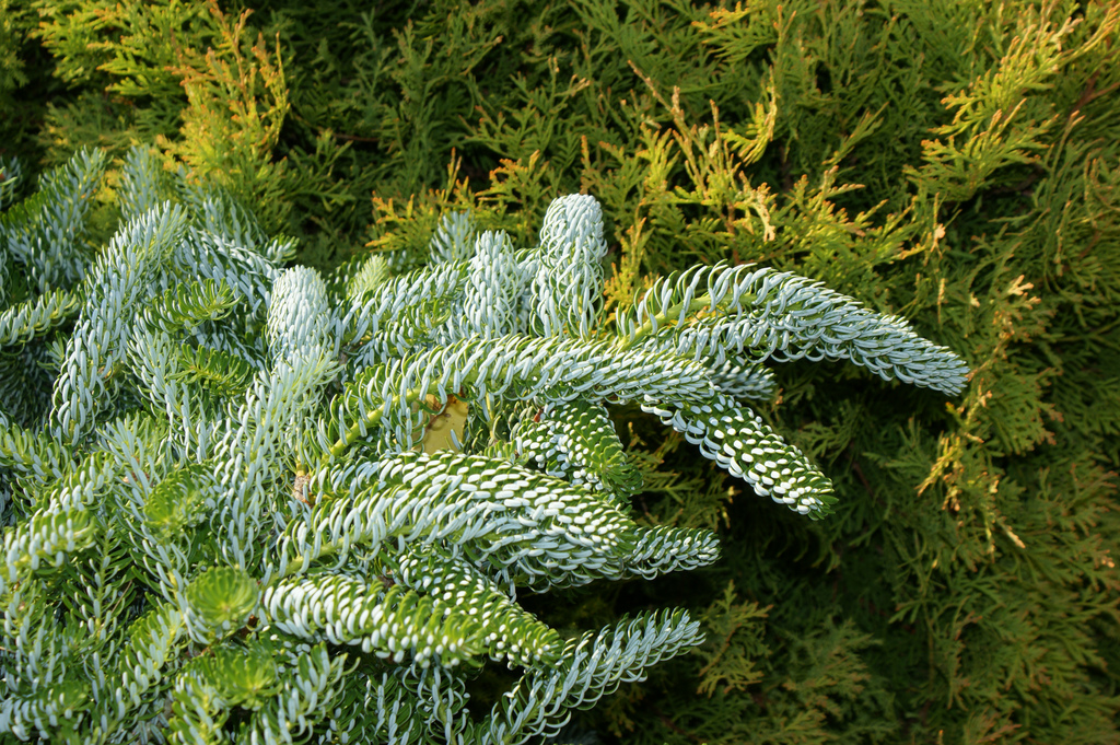 Photo 23399 Abies Koreana Horstmanns Silberlocke Plant Lust