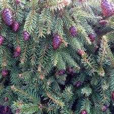 Picea Abies Pusch Pusch Dwarf Norway Spruce Plant Lust