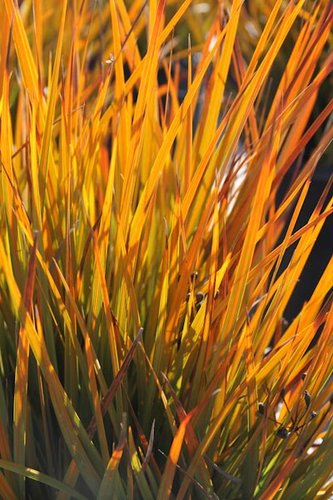 Libertia Peregrinans Gold Leaf Gold Leaf New Zealand