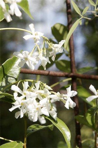 Trachelospermum Jasminoides Madison Madison Asian Star