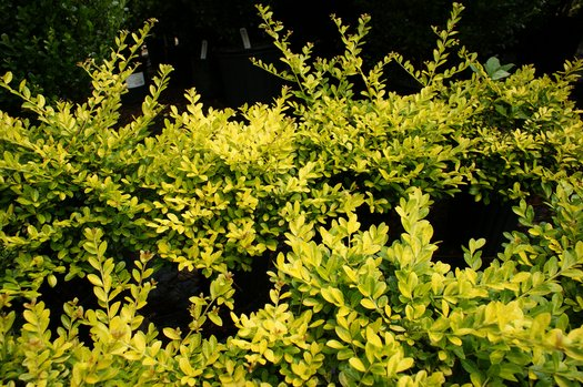 Ilex Crenata Golden Gem Golden Gem Japanese Holly Plant Lust