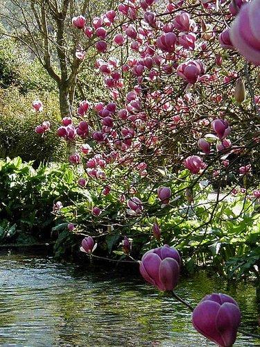Magnolia X Soulangeana Lennei Magnolia Soulangiana Lennei