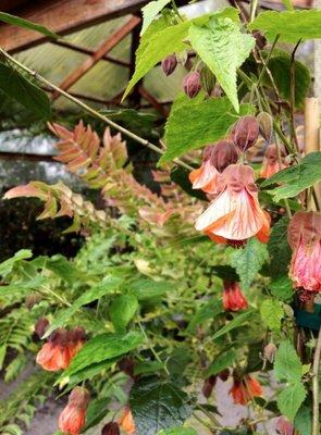 Abutilon Plant Lust
