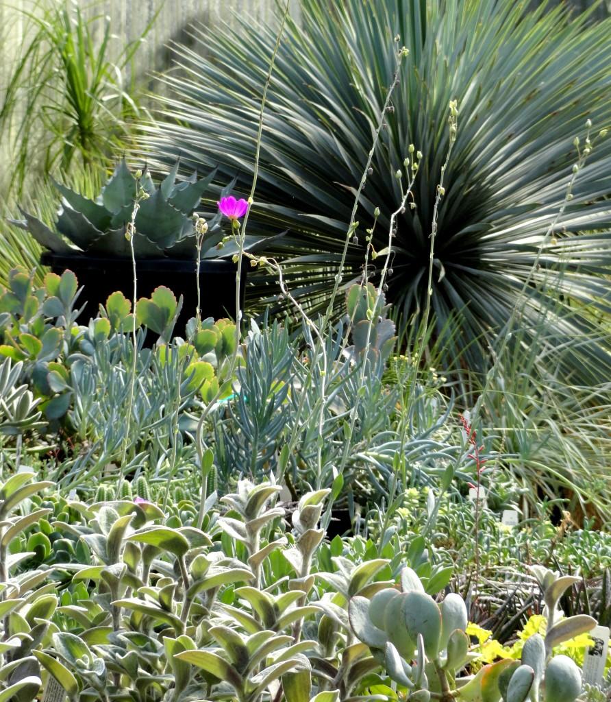 retail vignette with Yucca rostrata