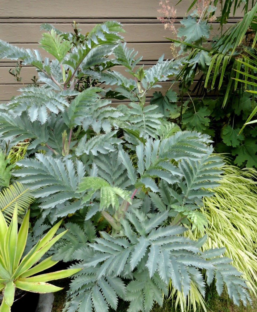 Melianthus major 'Antonow's Blue'