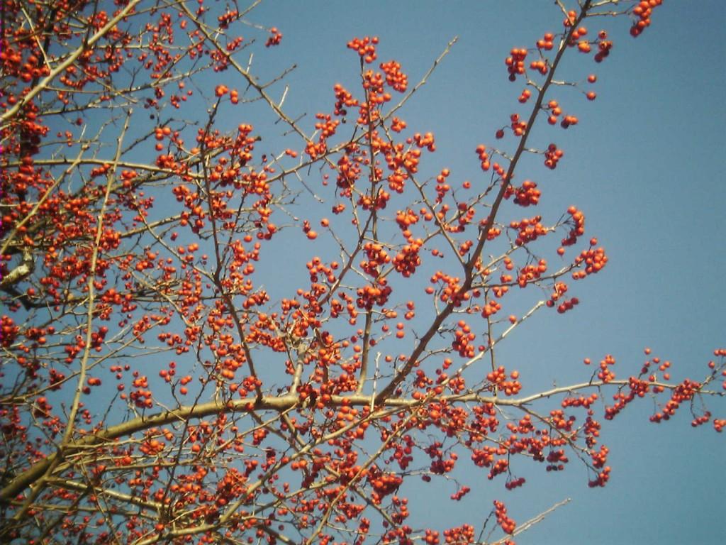 Crataegus_pinnatifida_fruit by Yongin_Public Domain