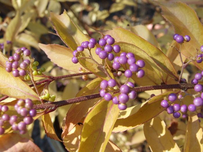 callicarpa dicotoma early amethyst by dancing oaks