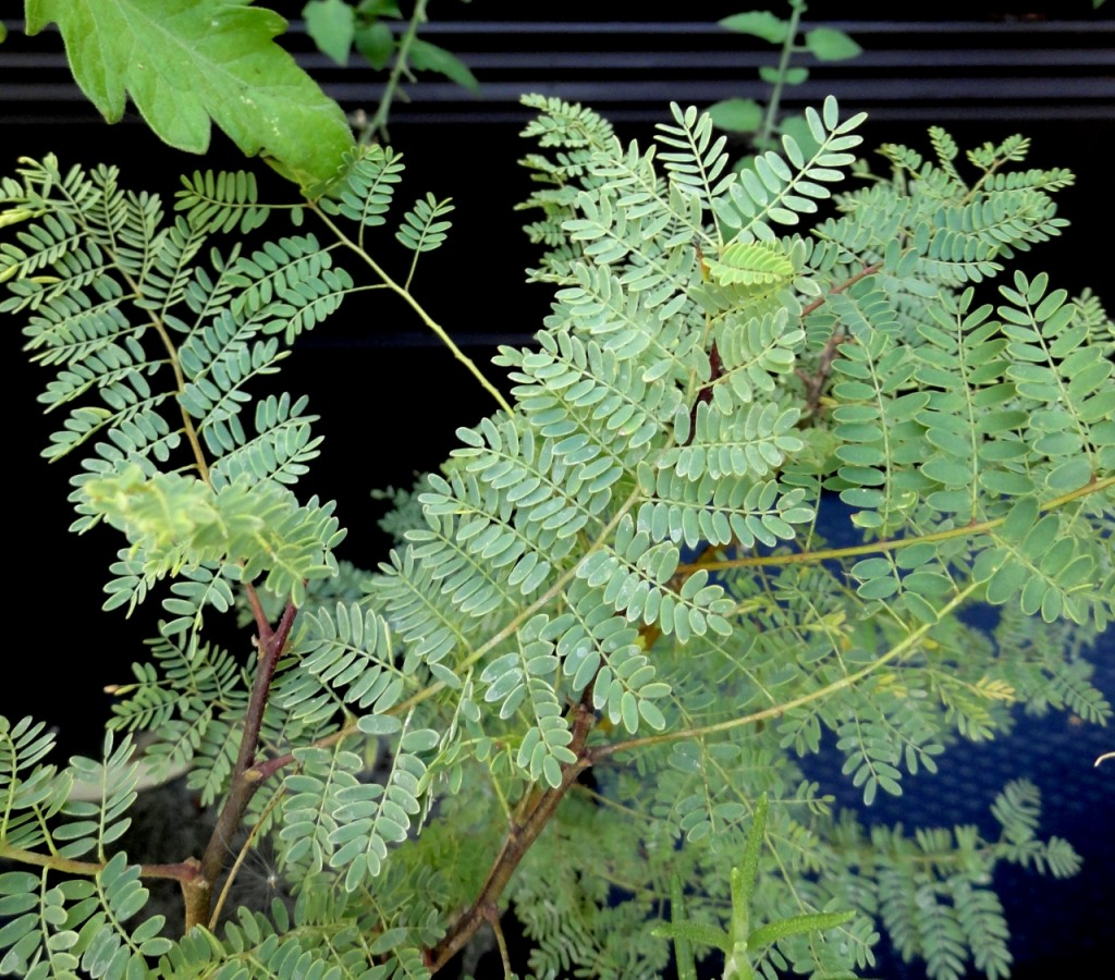 Caesalpinia gilliesii new