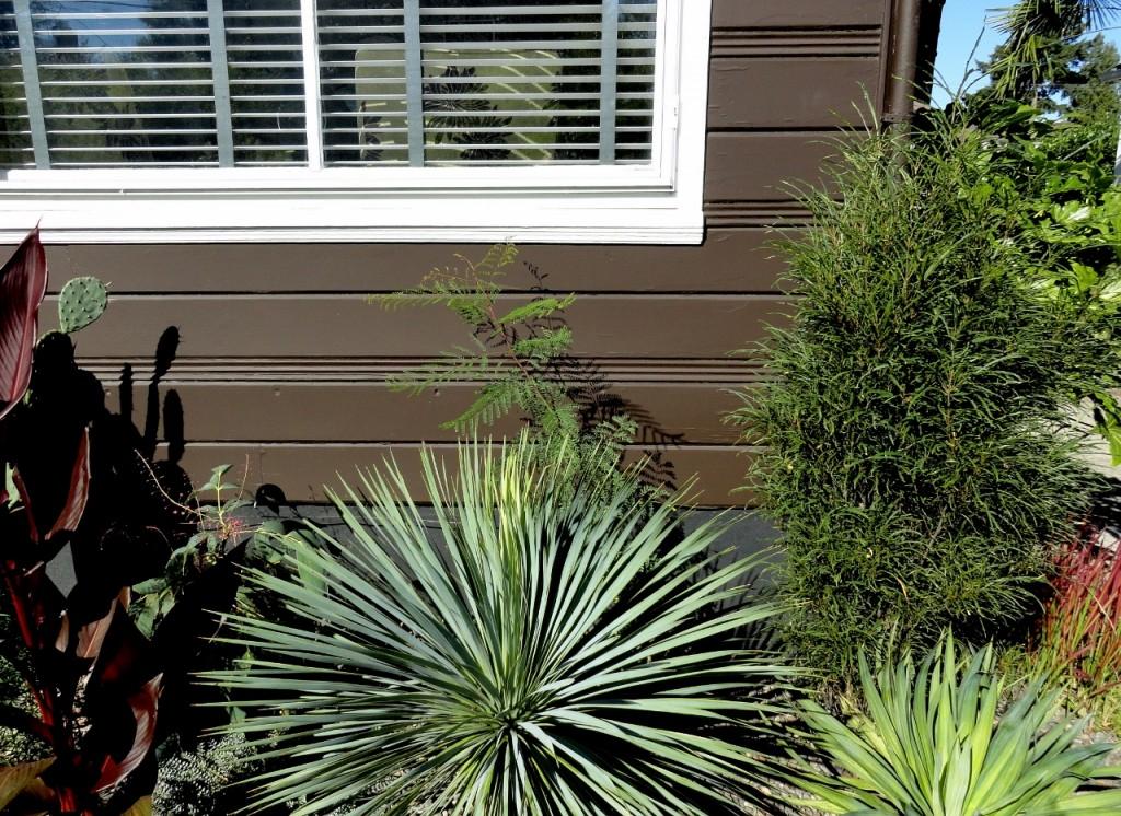 Caesalpinia gilliesii my front garden