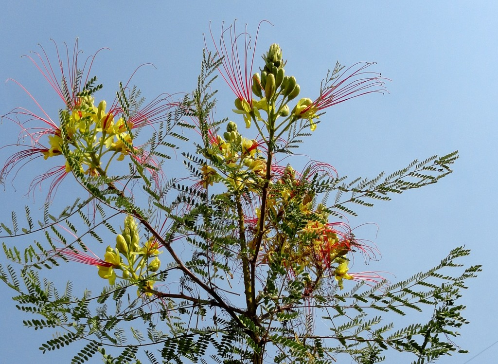 Caesalpinia gilliesii at Paul's